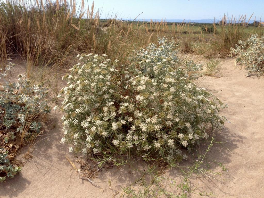 flore du littoral : plages, dunes, vases et rochers maritimes - Page 7 Img_4614