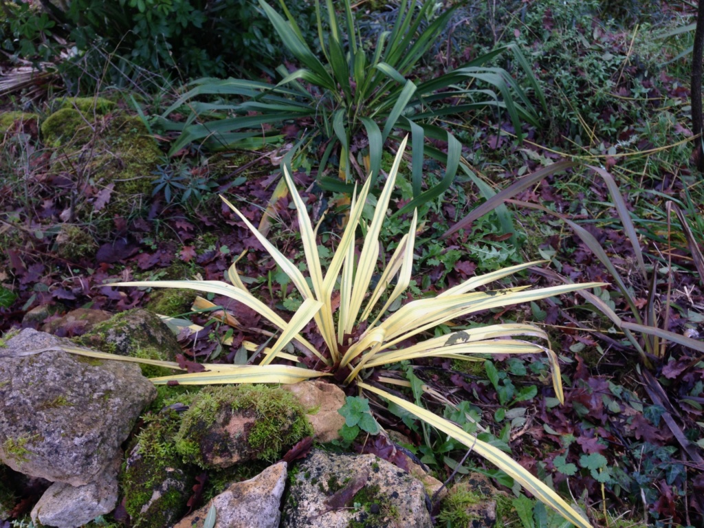 Yucca filamentosa 'Bright Edge' Img_4815