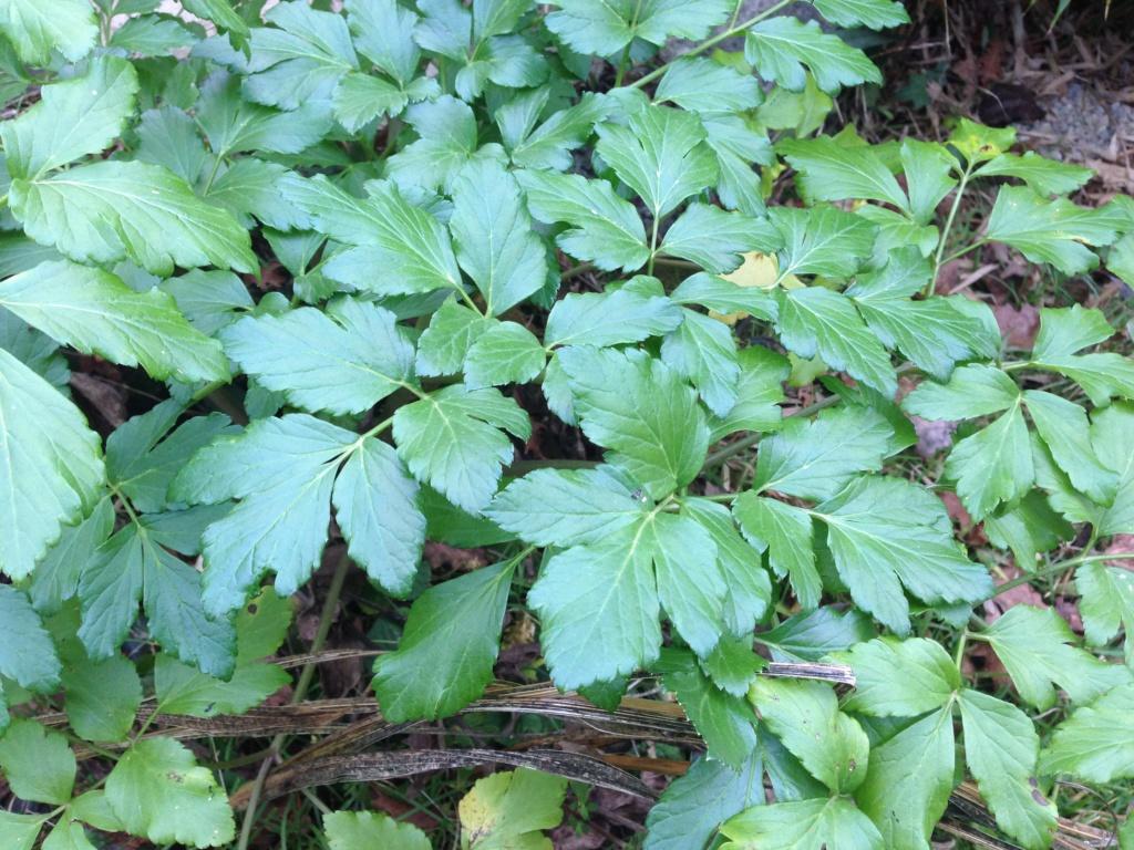 Identification herbacée - Apiacée ? Img_4820