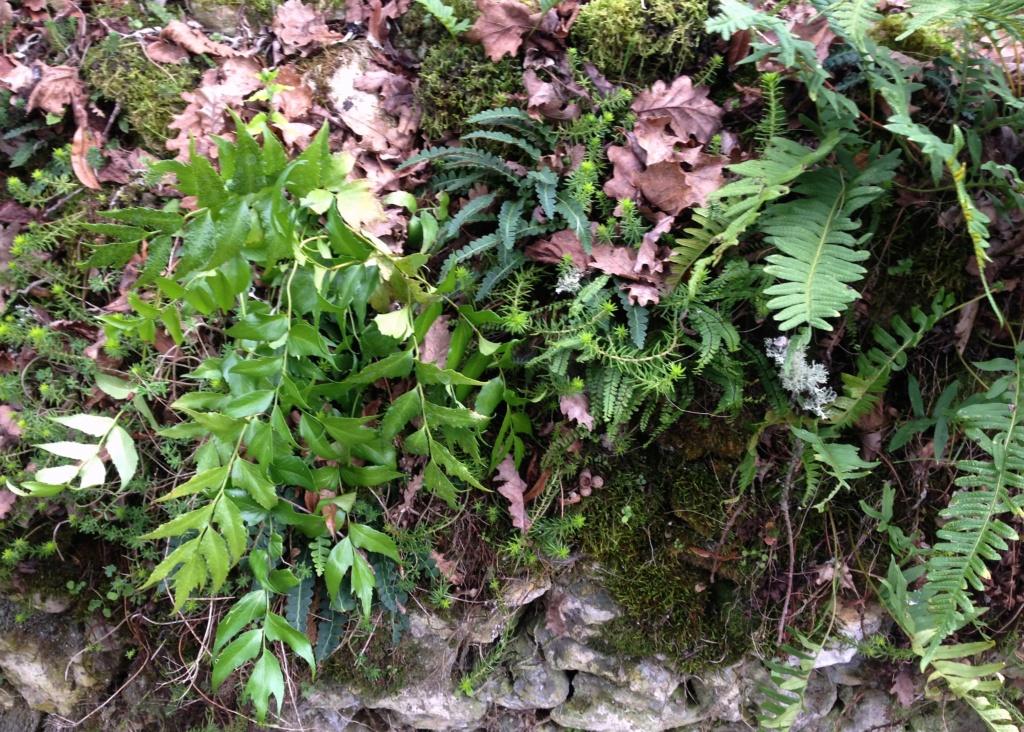 Cyrtomium falcatum - aspidie en faux, fougère-houx - Page 2 Img_4824