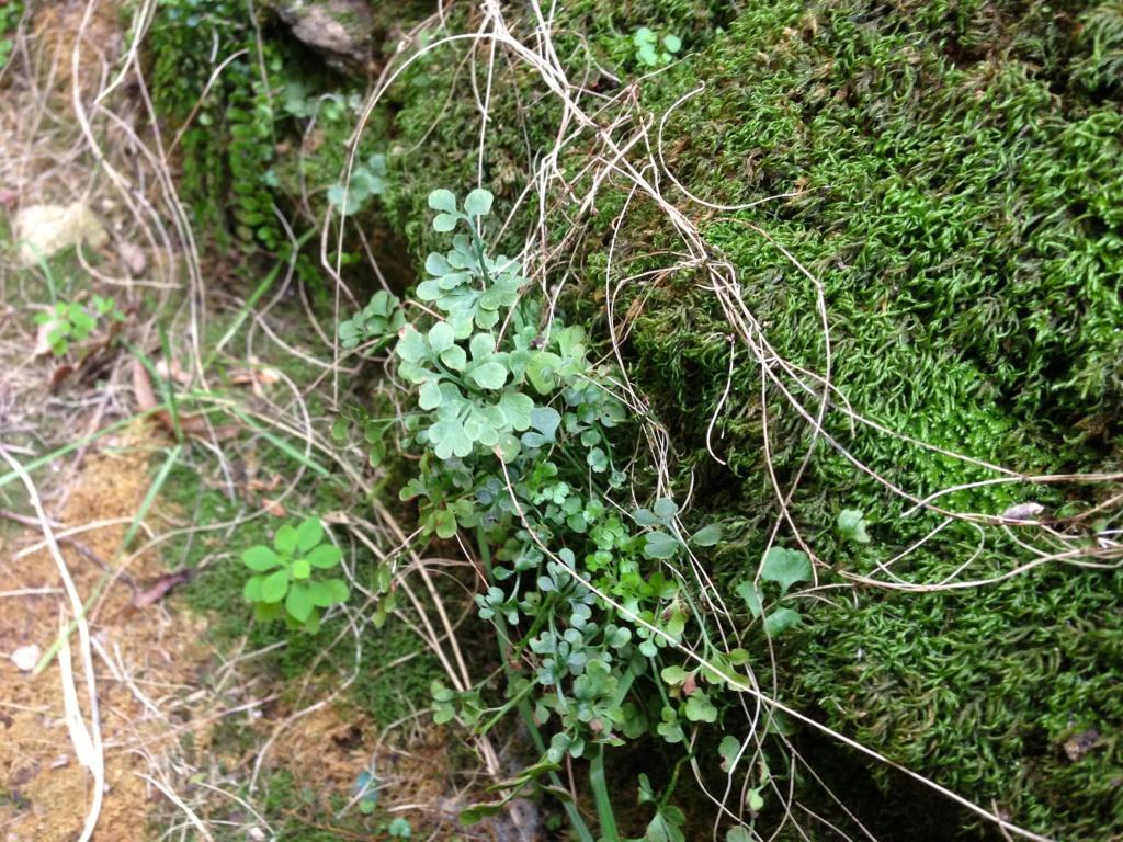 flore des vieux murs, rochers  et rocailles naturelles - Page 8 Img_4826