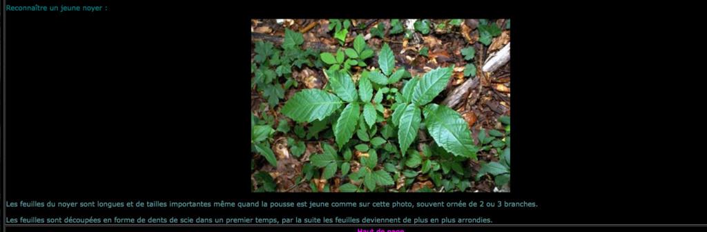 Juglans regia [Identification] Jeune_10