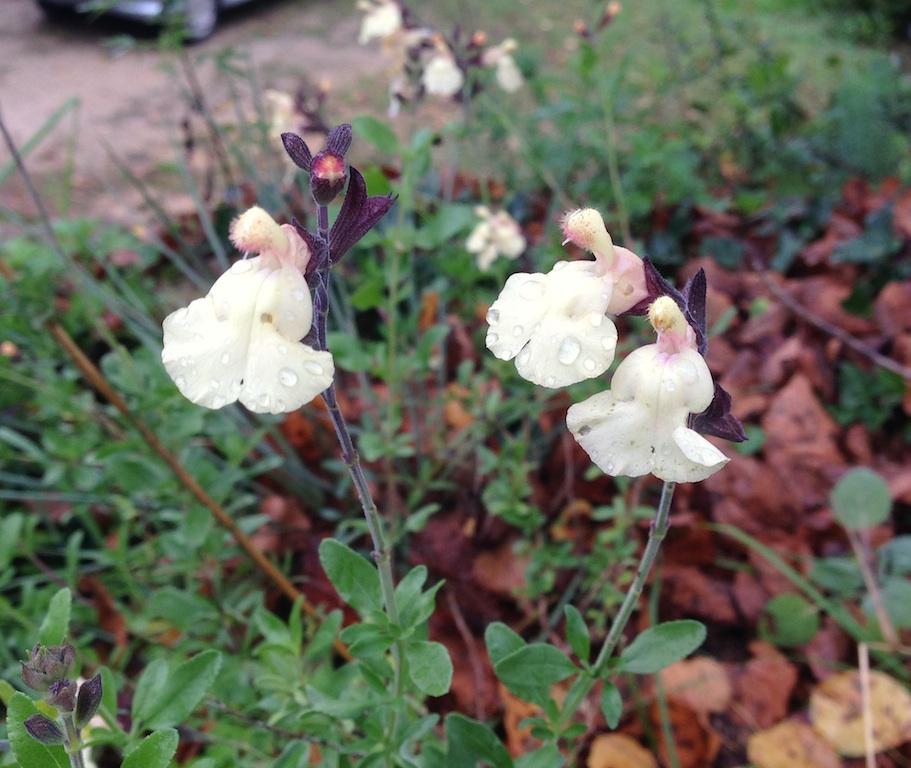 Salvia - les floraisons du moment - Page 19 Sauge_10