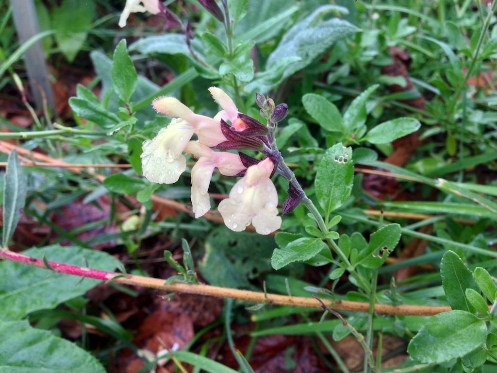 Salvia - les floraisons du moment - Page 19 Sauge_11