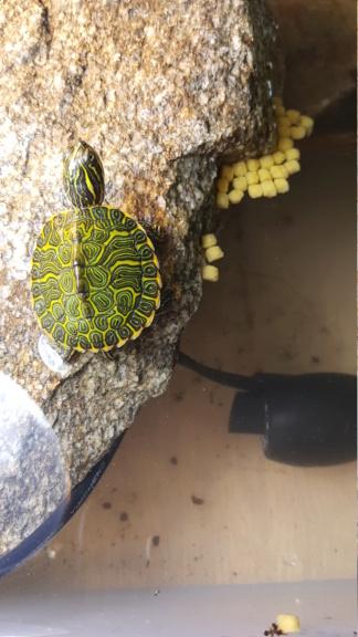 Bb tortue d eau à identifier  20181012