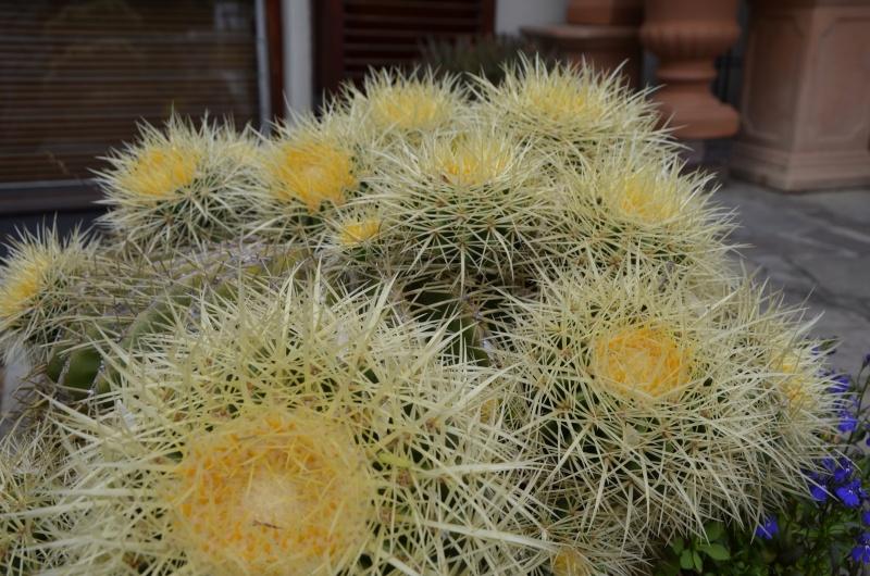 Echenocactus (Golden Barrel) _dsc0711