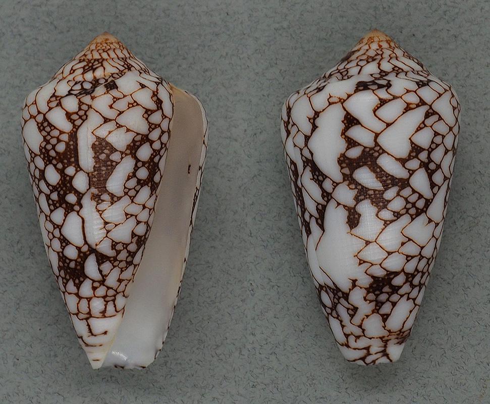 Darioconus aff. pennaceus de Djibouti Bratch10