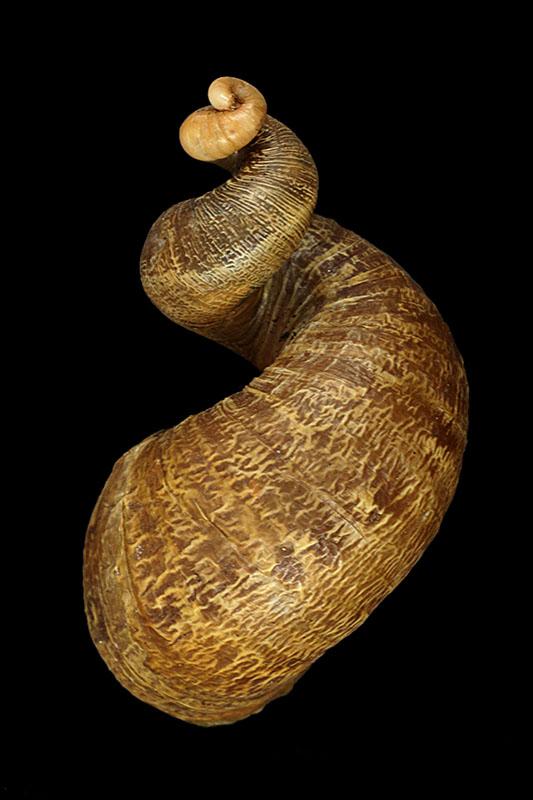Helix aspersa f. subcornucopiae (O.F. Muller, 1774) Cornuc10