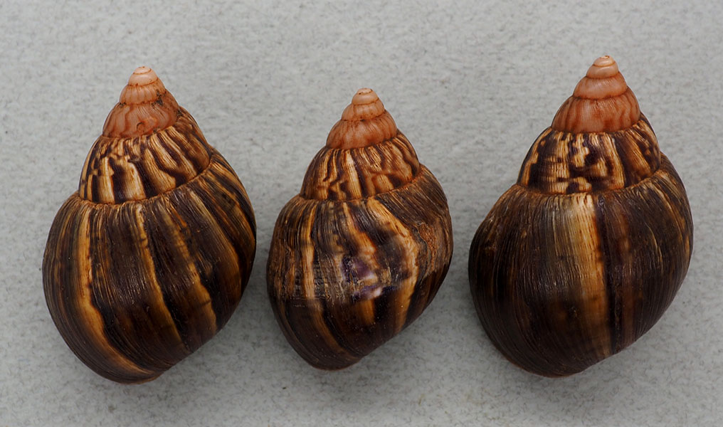 Petit Achatinidae d'Ouganda P1018210