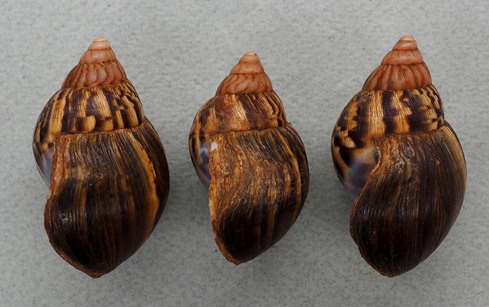 Petit Achatinidae d'Ouganda P1018211