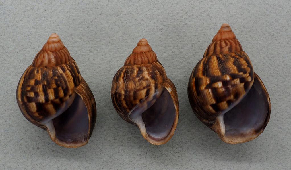 Petit Achatinidae d'Ouganda P1018212