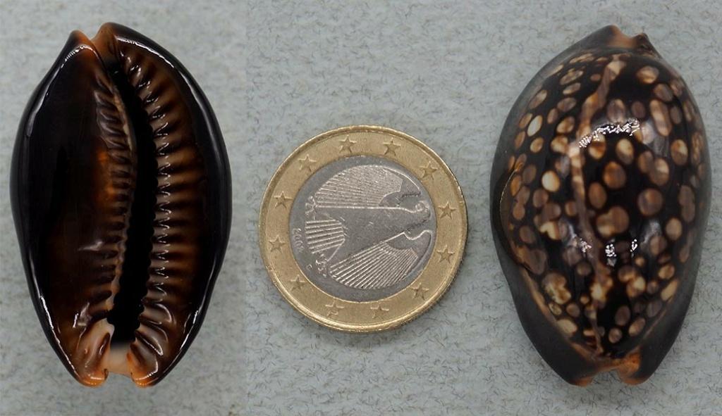 Mauritia mauritiana de petite taille P1018810