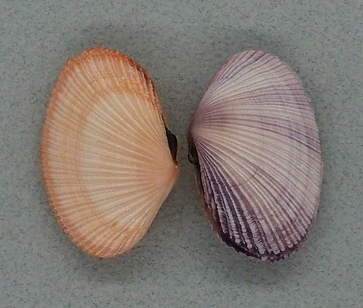 Mauritiana f. albiflora (Petrbock, 1932) à confirmer ou infirmer P4020610