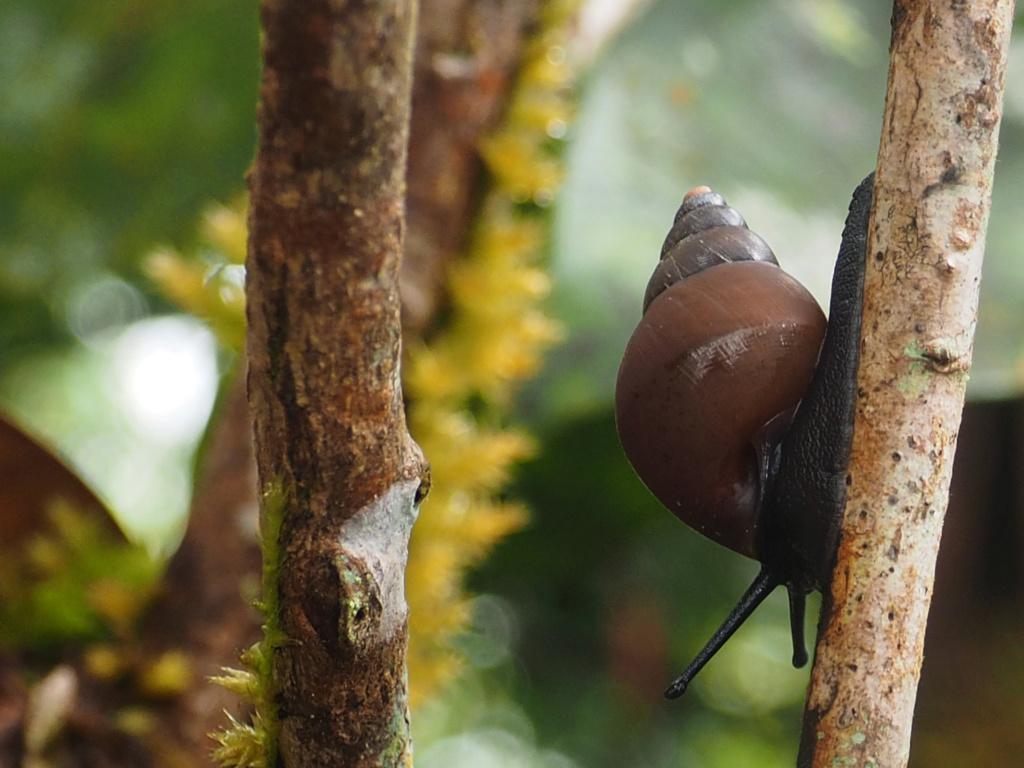 Pachnodus niger P8071910