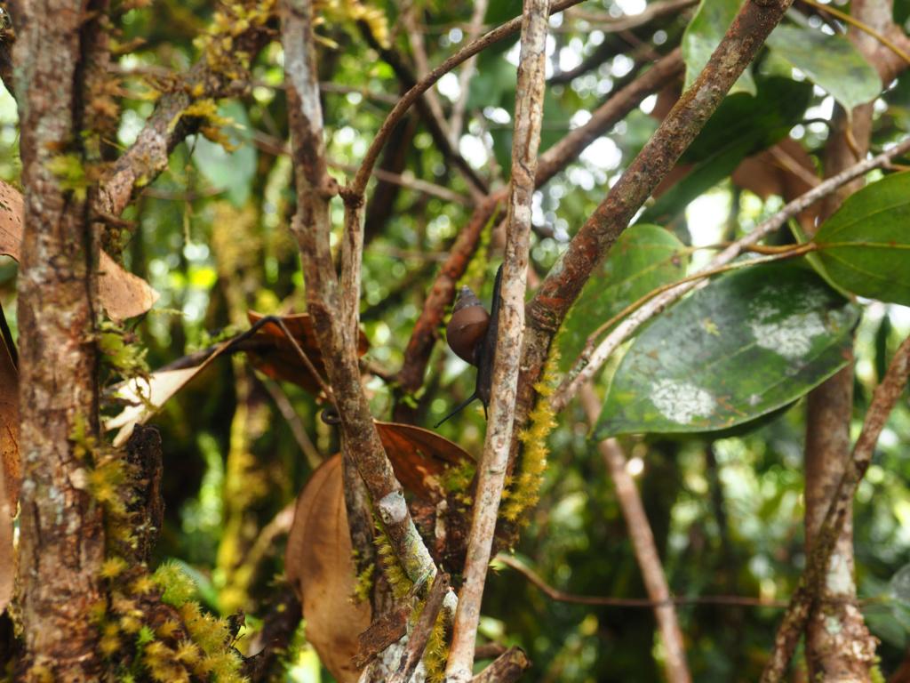 Pachnodus niger P8071912