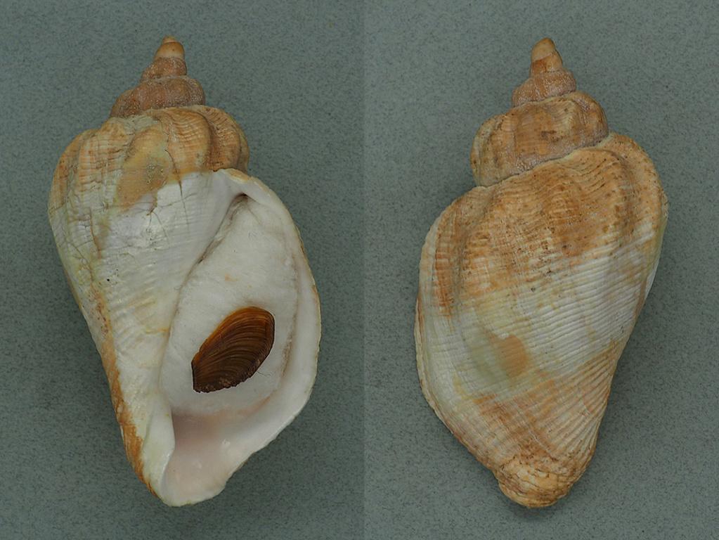 Pyrulofusus dexius japonicus - Habe, Ito & Tanji, 1980 Pyrulo10