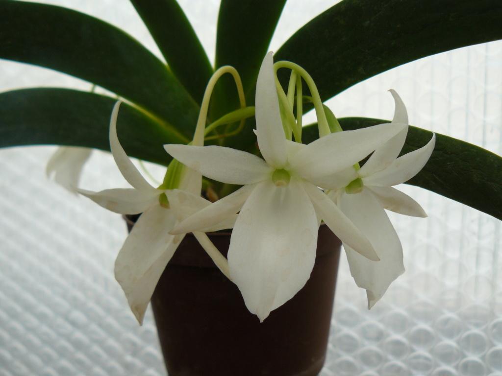 Angraecum leonis - Page 2 P1060659