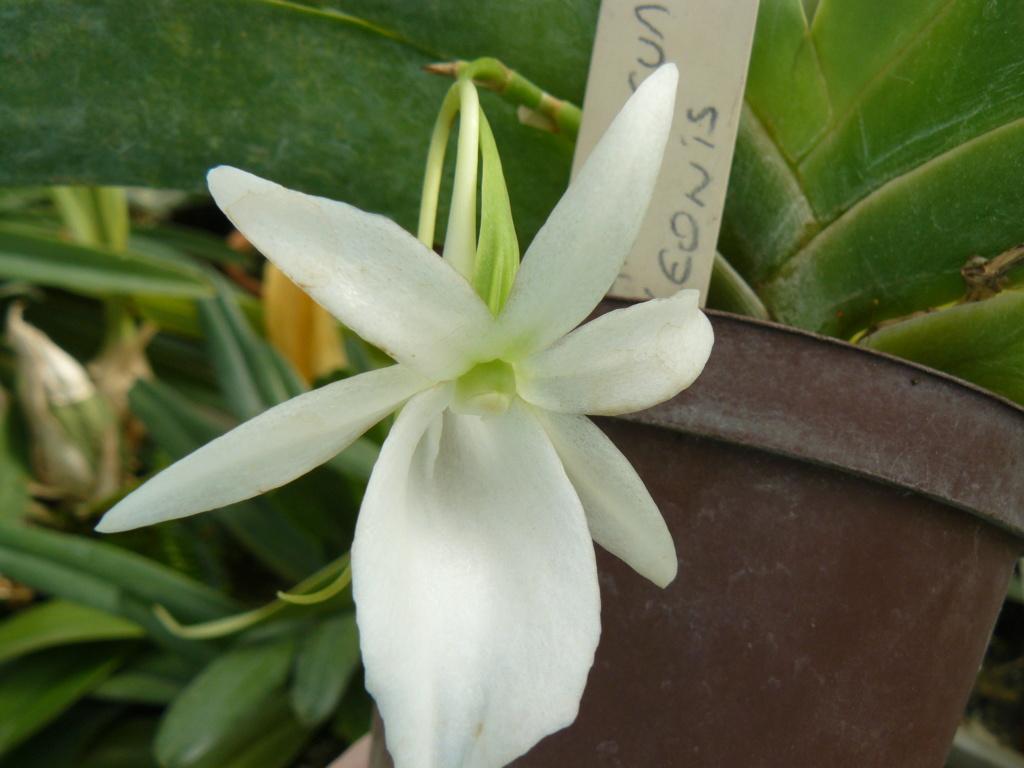 Angraecum leonis - Page 2 P1060941