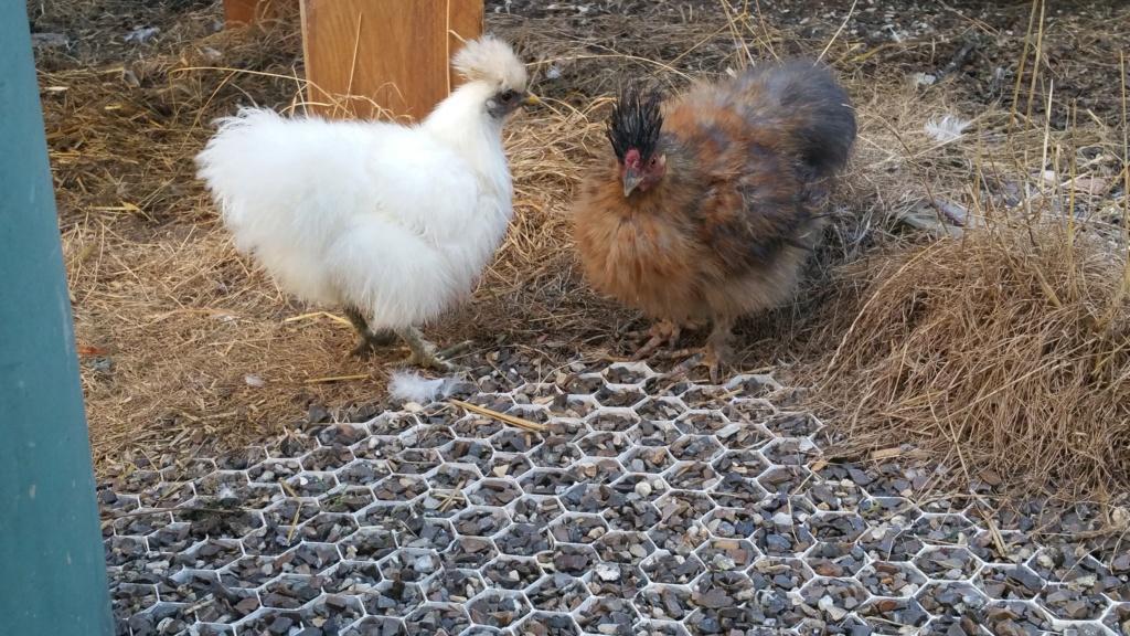 Identification poules soie Receiv10