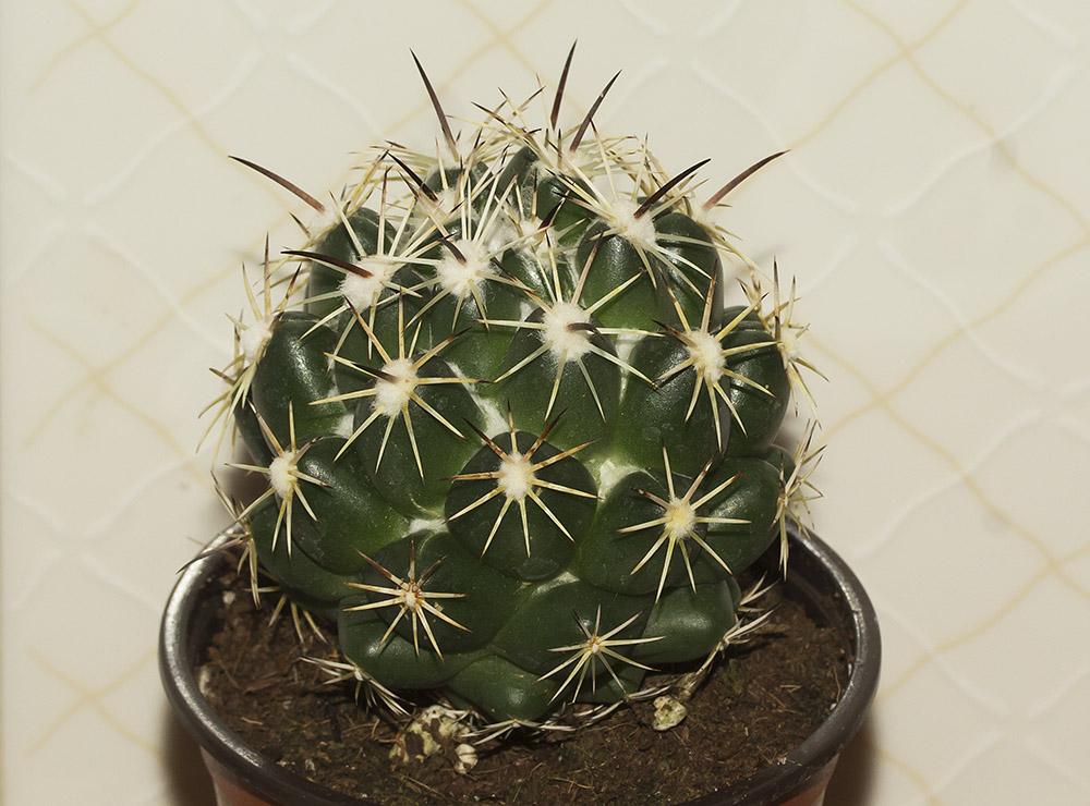 Third Coryphantha Coryph15