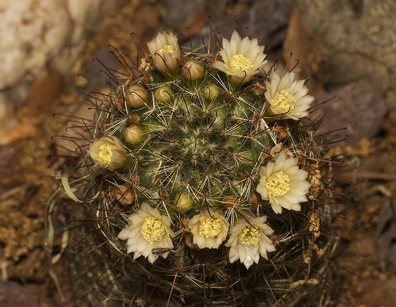 Mammillaria sp III Mammil13