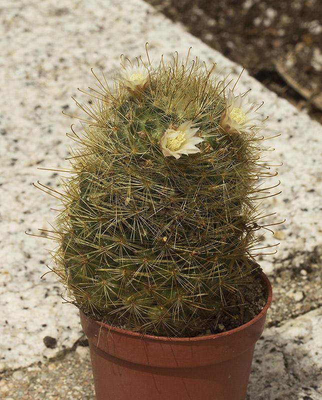 Mammillaria sp IV Mammil14