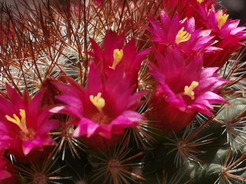 Mammillaria albrechtiana  0824_h10