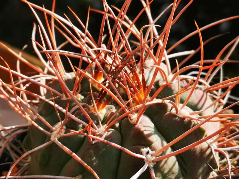 Gymnocalycium ritterianum ssp. acentracanthum 0955_b10