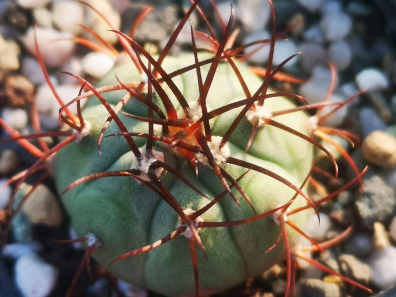 Gymnocalycium cabreraense Img_2405