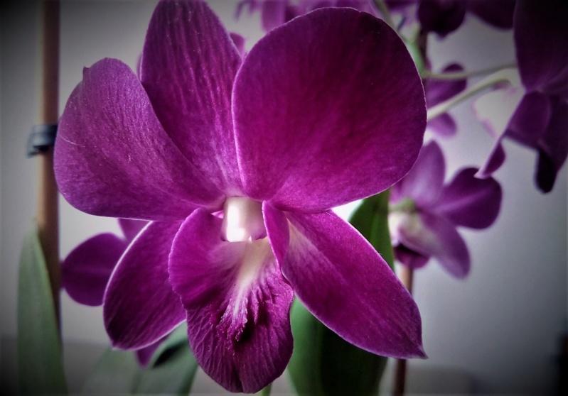 Unbekannte Orchidee  - gelöst: Dendrobium phalaenopsis O110