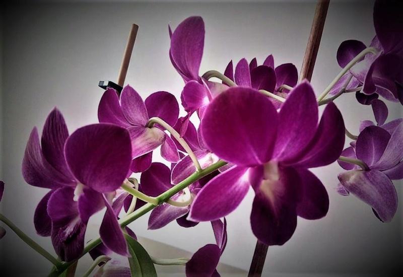 Unbekannte Orchidee  - gelöst: Dendrobium phalaenopsis O210