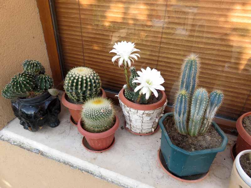 Cactus en fleur. Img_7316