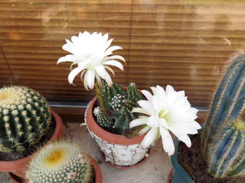 Cactus en fleur. Img_7317