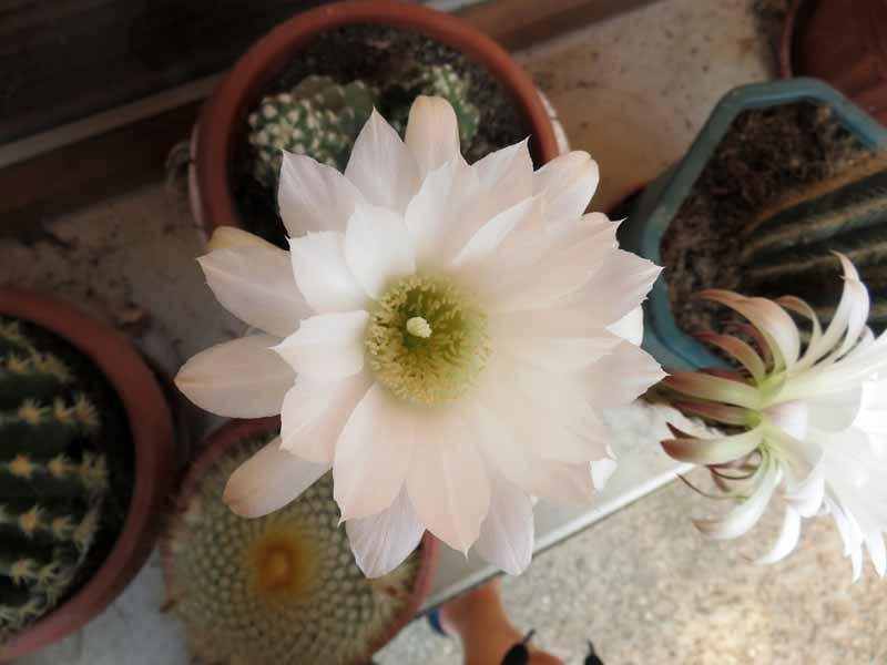 Cactus en fleur. Img_7318
