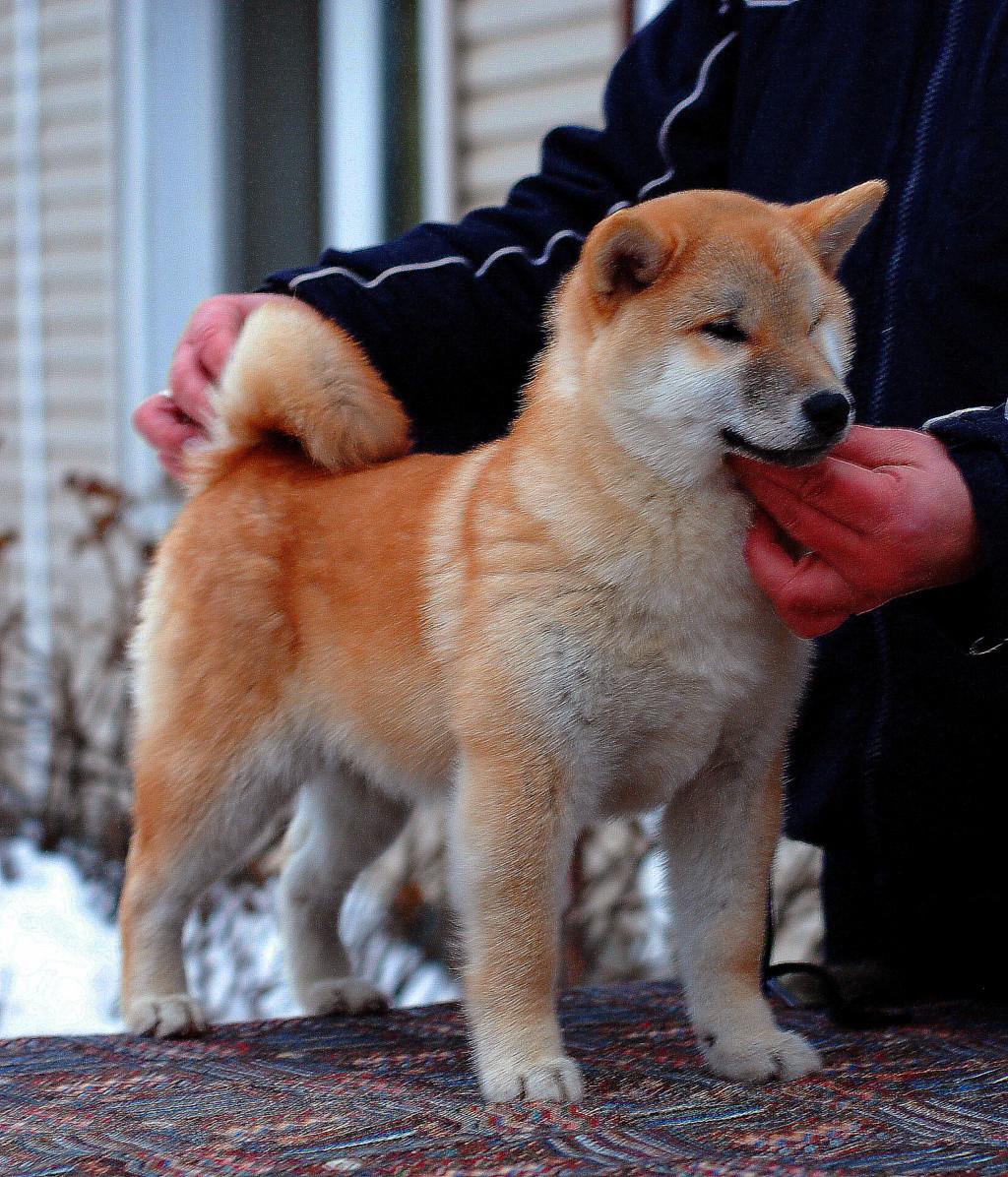Щенки MEISHUU NO MASATORA GO SEIRYUU HASHIMOTOSOU (Масато) х Runner Star Hideko (Соня)  Fox110