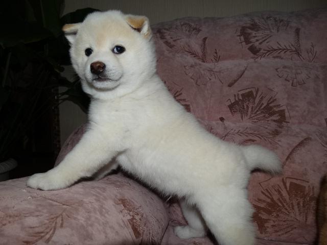 Куплю щенка Сиба ину 02712