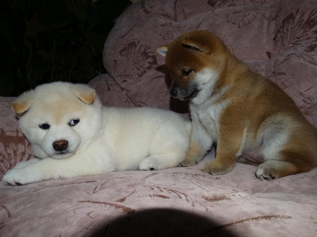 Куплю щенка Сиба ину 03113