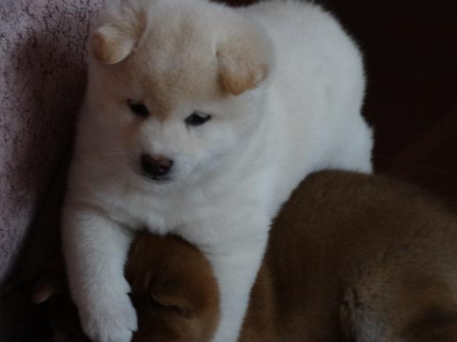 Куплю щенка Сиба ину 03715