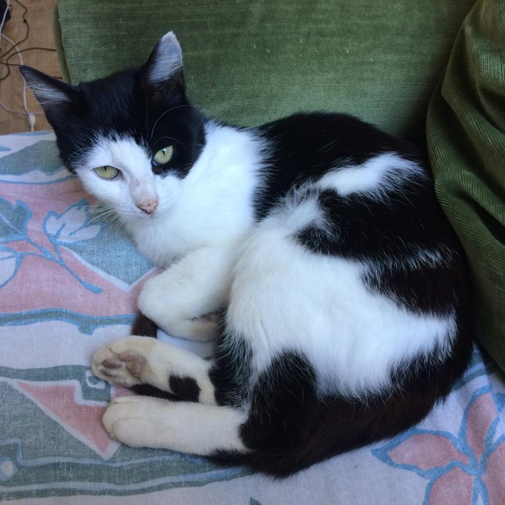 MALENA, chatte noire et blanche européenne, née en août 2016 Img_0118