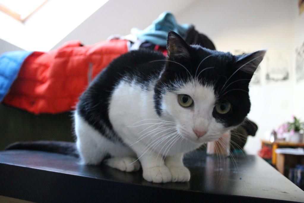 MALENA, chatte noire et blanche européenne, née en août 2016 Img_7310