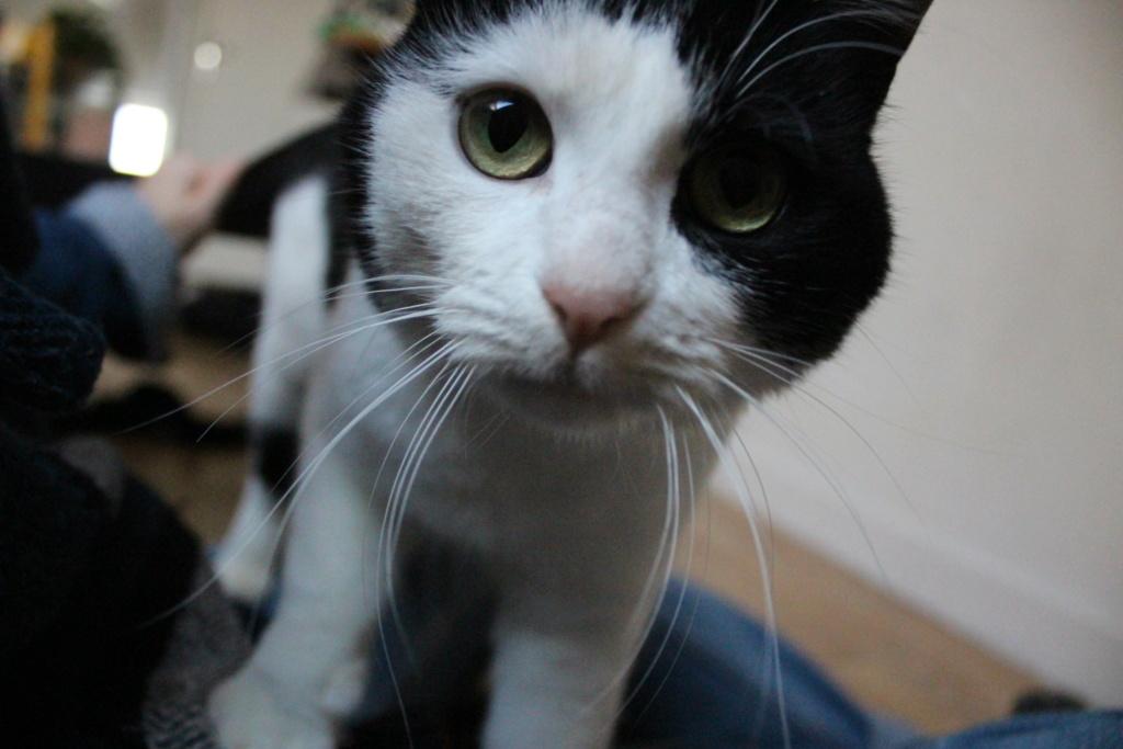 MALENA, chatte noire et blanche européenne, née en août 2016 Img_7312