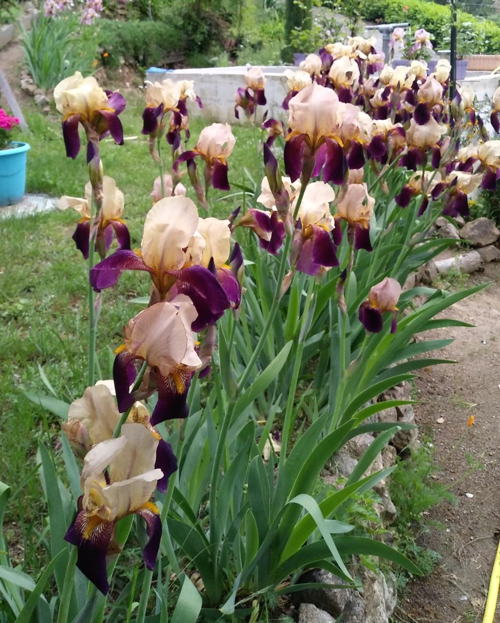 encore un iris a reconnaitre 18_gro10