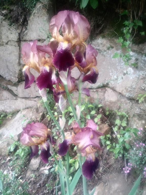 des iris  roses sans nom 40574810