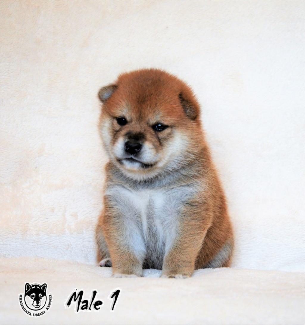 Питомник «KHANAGATA UMARI» щенки от пары AWA NO RIKIOU GO ASHUU OOTANISOU (Japan) & KHANAGATA UMARI GINREIHANA.  д/р 16/04/2019 регистрация NIPPO&FCI  -113