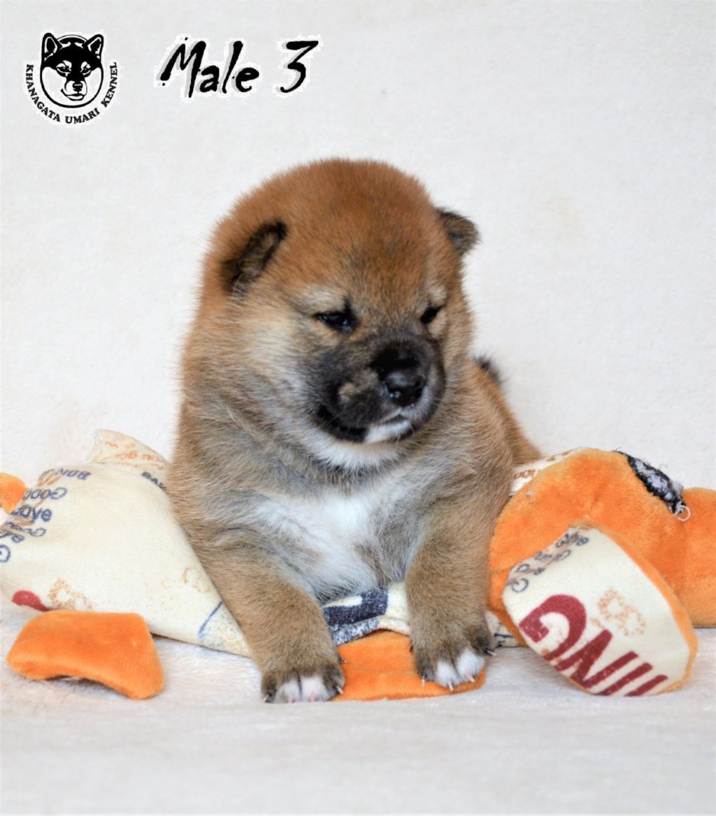 Питомник «KHANAGATA UMARI» щенки от пары AWA NO RIKIOU GO ASHUU OOTANISOU (Japan) & KHANAGATA UMARI GINREIHANA.  д/р 16/04/2019 регистрация NIPPO&FCI  -316