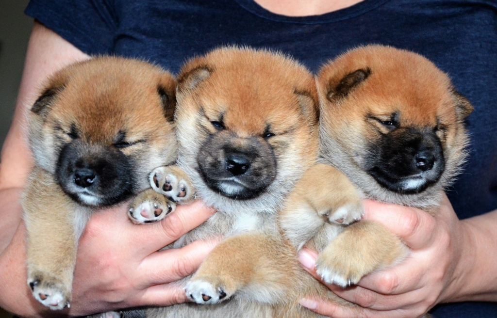 21/05/2019 Питомник «KHANAGATA UMARI» щенки от пары AKATSUKI ASAHIMARU & FUDZISAN BENITENKA (Москва) 0dsc_110