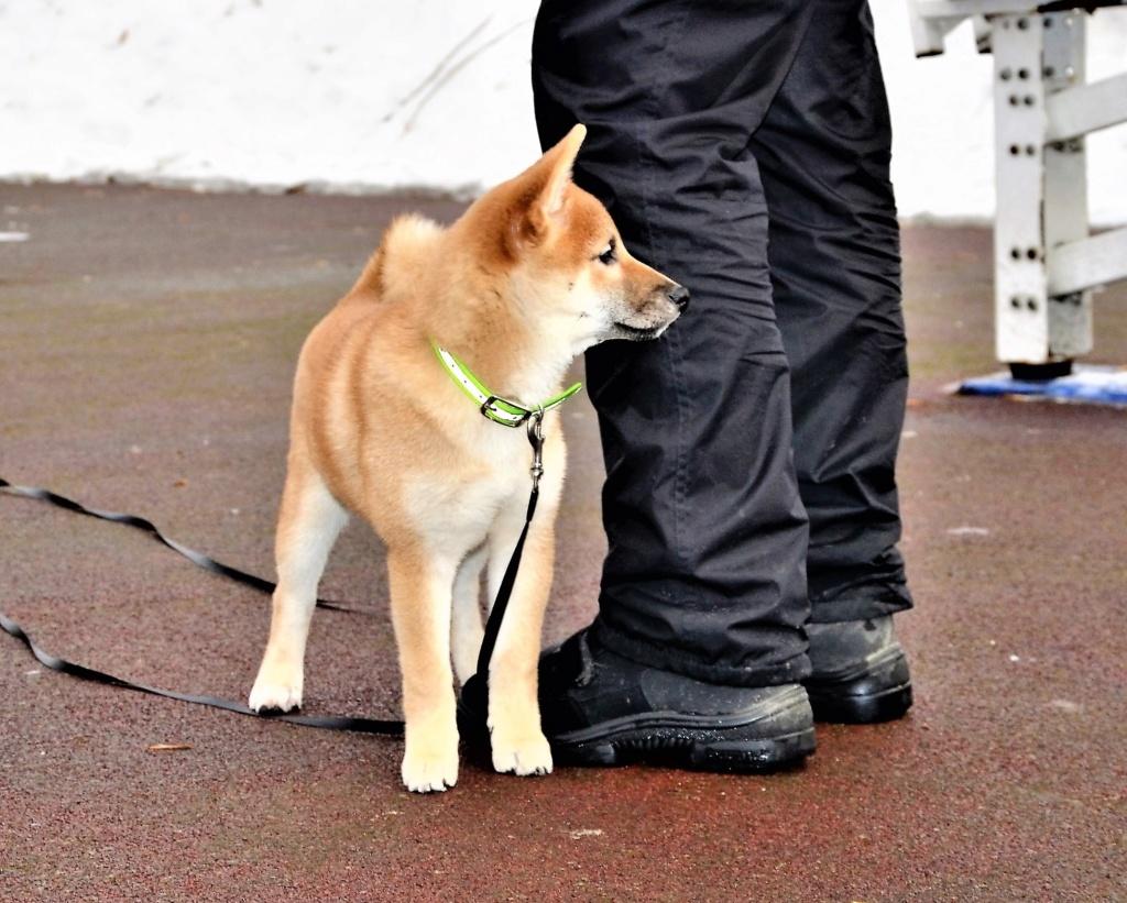 12/11/2018 Питомник «KHANAGATA UMARI» щенки от пары BAN NO AOI REIROU GO SHISHIBONE SAKAMOTOSOU (Japan) & AKATSUKI AYTAKAME регистрация NIPPO&FCI 1110