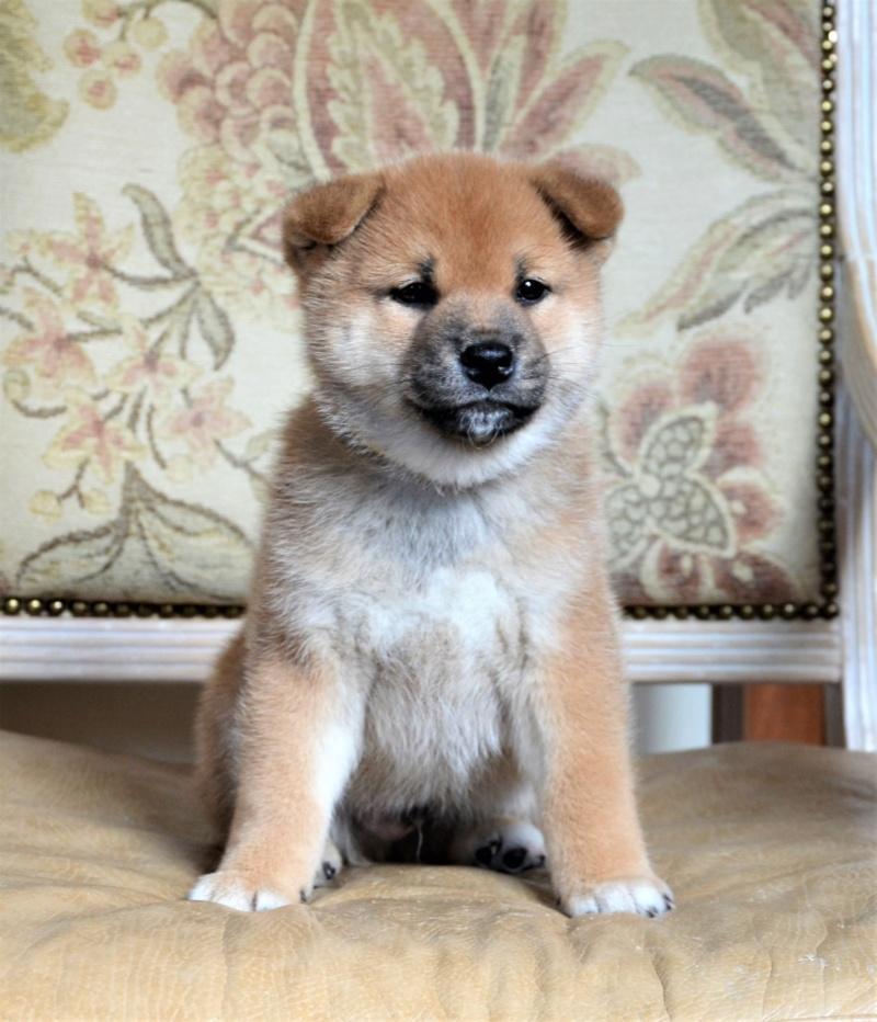 21/05/2019 Питомник «KHANAGATA UMARI» щенки от пары AKATSUKI ASAHIMARU & FUDZISAN BENITENKA (Москва) 116