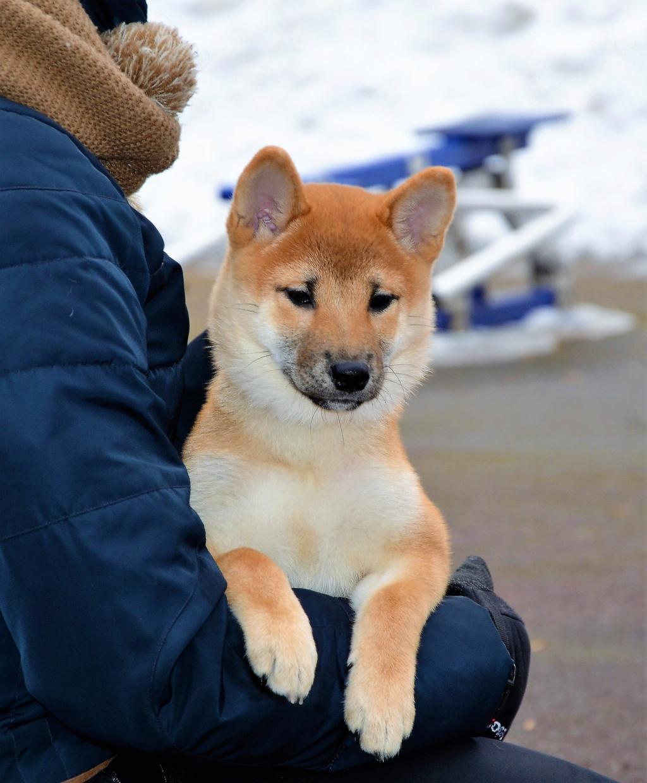 12/11/2018 Питомник «KHANAGATA UMARI» щенки от пары BAN NO AOI REIROU GO SHISHIBONE SAKAMOTOSOU (Japan) & AKATSUKI AYTAKAME регистрация NIPPO&FCI 1210
