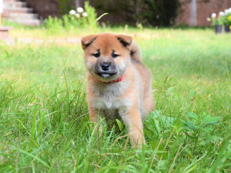 21/05/2019 Питомник «KHANAGATA UMARI» щенки от пары AKATSUKI ASAHIMARU & FUDZISAN BENITENKA (Москва) 314